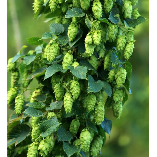 Amarillo Hops 100g (2019 Harvest)