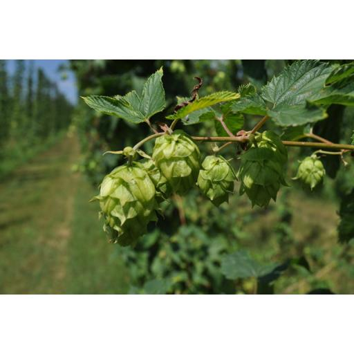Chinnok Hops 100g (2019 Harvest)