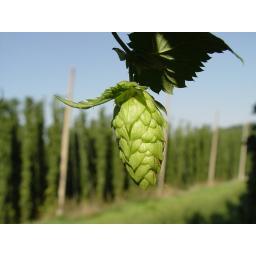 Hops 1.jpg