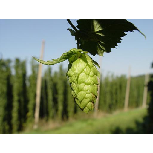 Willamette Hops - Alpha 4% - 2019 Harvest 100g